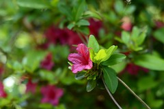 Red petals (P.Woolley) Tags: flowers plants nature nikon d3100 nikond3100
