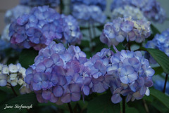 Hydrangea 8 (DESIGNS BY JUNE) Tags: blue flower gardens gardening flowering hydrangea blooms bushes blooming flowergardens floweringbushes bluehydrangeas hydrangeasflowersbluesummerjunestefancyk