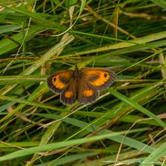 Gatekeeper (Phil W Walton) Tags: summer canon butterfly bug insect july gatekeeper lightroom southyorkshire 2014 100mmmacro ywt 60d brockadale