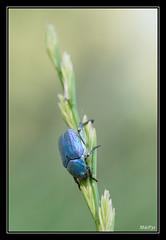 Hoplie bleue (M@P31) Tags: france macro insecte 2014 hautegaronne coleoptère tamron90macro hopliebleue hopliacoerulea parcduconfluent sonya77