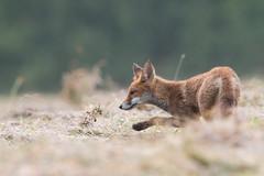 A pas de velours (lilian.lemonnier) Tags: mammals mammalia carnivores redfox vulpesvulpes renardeau carnivora canidae mammifres renardroux canids