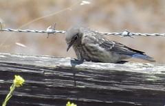 western bluebird juvenile (minicooper93402) Tags: california western bluebird centralcoast juvenile sanluisobispo songbird turriroad