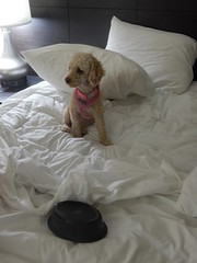 (mestes76) Tags: 103015 lajunta colorado hotels redlionhotel hotelbeds pets dogs zoey food dogfood breakfastinbed