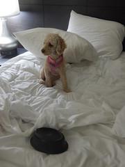 (mestes76) Tags: 103015 lajunta colorado hotels redlionhotel hotelbeds pets dogs zoey food dogfood breakfastinbed