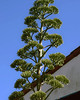 Century plant (Agave americana) (swedg) Tags: agave centuryplant tall flower