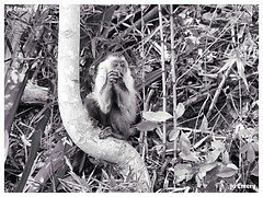S observando... (Ju Emery) Tags: juemery monkey macaco cerrado natureza nature animal