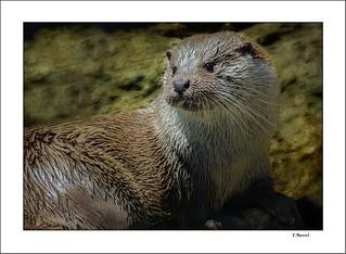 Nutria del Duero / Douro river otter