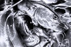 Cod Fest _5410 (hkoons) Tags: northatlantic northwesticeland skagipeninsula westfiords westfjords atlantic harbor iceland skagastrnd bay boat buoy cod fiord fish fishermen fishing fjord inlet island marine north ocean saltwater salty sea ship vessel water