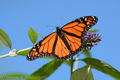 Migrant monarch (dbifulco) Tags: bluesky budddleia butterfly flower garden insect macro male monarch nature newjersey nikkor105f28 wildlife