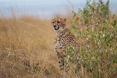 Checking For Prey (Makgobokgobo) Tags: cheetah predator mammal masaimaranationalreserve masaimara mara kenya africa acinonyxjubatus acinonyx