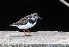 Turnstone (2) (grahamh1651) Tags: newlyn tolcarne gulls divers waders
