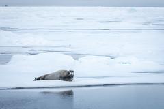 Bearded Seal (D-Niev) Tags: norway svalbard