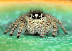 Philaeus chrysops Female (Andres Moline) Tags: philaeus chrysops female jumper spider nature mpe
