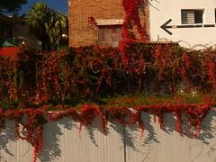 Otoo Tardor Autumn (3) (calafellvalo) Tags: calafellautumntardorotoomandoscalafellvalo otoo autumn fall automne herbst ocher reddle ocre ocker viedos vineyard weinberg vignoble rouge red calafellvalo madroo tardor