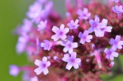 Wet and happy (dfromonteil) Tags: flowers fleurs droplets gouttes dew rain eau pluie rose purple violet green vert macro bokeh nature garden jardin wow