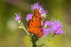 Gulf Fritillary (hetrickwesley) Tags: florida gainesville morningside nature outdoors unitedstates us park center flowers butterfly gulf fritillary insect canon 80d tamron 70300 di vc