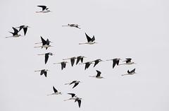 bw stilts flight mudflats MP D5 300PF lens_DSC3158 (neilfif11) Tags: nikond5 stilts shorebirds flight wetlands maipo hongkong