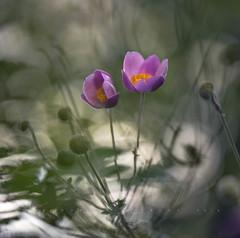 Violet Couple (Franci Van der vyver (Carmen Tulum)) Tags: flora anemone pink fall autumn friends nikon1050mmf28 couple