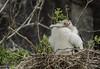 MAKE FRIGATES GREAT AGAIN (puliarf) Tags: galápagos galápagosislands genovesa frigatebird greatfrigatebird nationalgeographic lindbladtours chick endeavor fregataminor