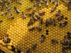 Bees. (M Ignacia Cruz) Tags: bees honey abejas yellow animal nature