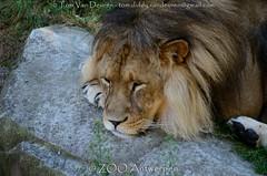 Afrikaanse leeuw - Panthera leo leo - African Lion (MrTDiddy) Tags: afrikaanse leeuw panthera leo african lion big cat bigcat grote kat grotekat feline zoogdier mammal manneijk male nestor