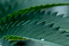 Out, Out (Dex Horton Photography) Tags: green sawtooth leaf peanutbutter waterdrop garden martys bestof dexhorton