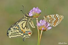 Friends (alfvet) Tags: macro natura nature farfalle butterflies insetti parcodelticino nikon sigma150 veterinarifotografi