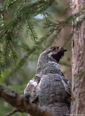 Pyy (Tetrastes bonasia) ♂, Hazel grouse (pohjoma) Tags: lintu pyy tetrastesbonasia hazelgrouse bird grouse canoneos5dmarkiii canonef100400mmf4556lisusm 500v20f finland plumage