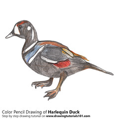 Harlequin Duck with Color Pencils (drawingtutorials101.com) Tags: harlequin duck ducks seaduck sea histrionicus animals birds sketching pencil sketch sketches drawing draw speeddrawing timelapse timelapsevideo coloring color how