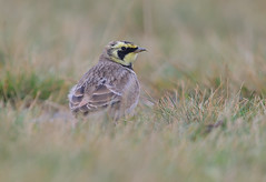 Shorelark (vause_gary) Tags: hornedlark