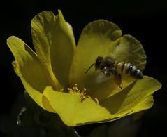 Bee_SAF4158-1 (sara97) Tags: bee flower flyinginsect insect missouri nature outdoors photobysaraannefinke pollinator saintlouis towergrovepark urbanpark wildlife copyright2016saraannefinke