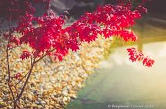 Maple foliage 3 (frattonparker) Tags: nikond600 nikkor50mmf18 lightroom6 adoberaw9 cs6 autumn fall frattonparker btonner isleofwight dof