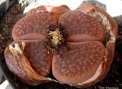 Litops(3) (Paolo Bonassin) Tags: cactaceae cactacee cactus succulente lithops