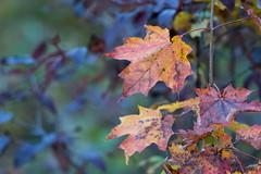 ColoredLeaves (jmishefske) Tags: wehr leaves october nikon colors milwaukee nature d500 wisconsin center whitnall 2016 fall franklin park