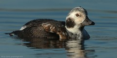 Long-tailed Duck Pennington 16ig6567 (Pauline & Ian Wildlife Images) Tags: longtailed duck pennington flash