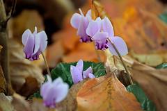 Last autumn flowers (pascal.echevest) Tags: nature natur natura naturaleza natureza natur vivant wildlife automne autumn valleauxloups hautsdeseine iledefrance nikon5300