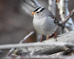 White-crowned sparrow (jlcummins - Washington State) Tags: bird yakimacounty yakimaareaarboretum washingtonstate nature whitecrownedsparrow birdwatching