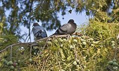 Cosas del amor. Parc de la Ciutadella. (svet.llum) Tags: paloma animal paisaje parque parc parcdelaciutadella barcelona catalunya catalua naturaleza