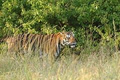 Challenger takes to the grass (Chandrasekhar Bhattacharya) Tags: tiger kanha forest kisli jungle royalbengaltiger