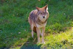 Coyote @ Le Parc Omega (Jeannot7) Tags: coyote parcomega montebello québec