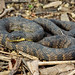 Northern Diamond-backed Watersnake