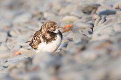 Turnstone (Shane Jones) Tags: turnstone bird wildlife nature nikon d500 200400vr tc14eii