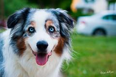 """""""Heh!"""" ([ lee ]) Tags: pacifico aussie australian shepherd dog blue merle"""
