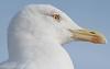Essaouria, Morocco (Hans Olofsson) Tags: 2016 essaouira marocko morocco medelhavstrut larus trut huvud bird gull head yellowleggedgull larusmichahellis