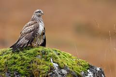 Common Buzzard (buteo,buteo) (Ady G.) Tags: 1dmarkiv canon1div buzzard buteobuteo commonbuzzard 500f4 1d4 inexplore mull canon raptor