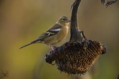 Fringilla coelebs  - Pinson des arbres - Fringuello (Pasquale xrupex) Tags: fringillacoelebs pinsondesarbres fringuello chaffinch