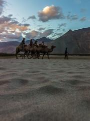 Camel Rides  -   Nubra Valley,  India (Kartik Kumar S) Tags: nubra valley cold desert kashmir india camel rides sunset canon 600d tokina 1116mm wide angle