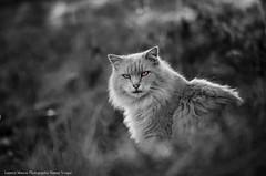 Mimi le tigre sauvage (Manonlemagnion) Tags: chat cats toutdoux nb noirblanc poilu mimi minou miaou regard nature pose nikond7000 105mm28