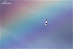 California Gull and Rainbow (lironsnaturephotography.com) Tags: californiagull gull gulls seagull seagulls rainbow rainbows weather flight flying larus laruscalifornicus seabird seabirds sea seas ocean oceans pacific pacificcoast pacificnorthwest pacificflyway pacificocean westcoast lironsnaturephotographycom bird birds birding birdphotography birdwatching nature naturephotography natural wild animal animals wildlifephotography wildlife victoria vancouverisland bc britishcolumbia britishcolumbiacoast coast coastalbc coastalbritishcolumbia coastal canada canonef400mmf56lusm canon canon7dmarkii canoneos7dmarkii 7dmarkii
