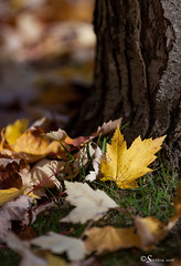 Autumn Colours (Serthra) Tags: autumn fall leaf leaves canoneos5dmarkii canon5dmark2 yellow nature mothernature tree trees flora plant foliage colorful canada vancouver britishcolumbia beautiful outdoor outdoors forest golden october